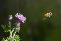 Hoverfly (Syrphidae) flying, Sussex, England 01543040937| 写真素材・ストックフォト・画像・イラスト素材|アマナイメージズ