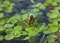 Pond Pirate Spider (Pirata piraticus) with egg-sac on pond s