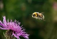 Broken-belted Humble-bee (Bombus soroeensis) flying