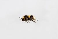 Bumblebee (Bombus sp) flying