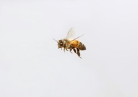 Honey Bee (Apis mellifera) flying