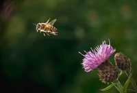 Honey Bee (Apis mellifera) flying