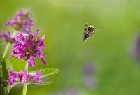 Brown Bumblebee (Bombus pascuorum) flying from flower, Engla