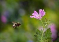 Vestal Cuckoo Bee (Bombus vestalis) flying, England