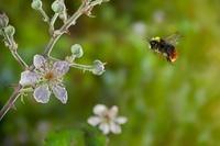 Early Bumblebee (Bombus pratorum) flying, England
