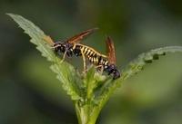 Sawfly (Tenthredo scrophulariae) pair mating, England
