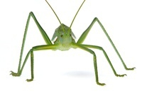 Katydid (Tettigoniidae) newly discovered, yet unnamed specie