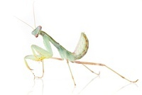 African Praying Mantis (Sphodromantis lineola)