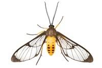 Scape Moth (Ctenuchidae), Cartago, Costa Rica