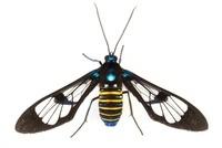Clear-winged Tiger Moth (Cosmosoma sp), Tapanti National Par
