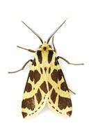 Scape Moth (Ctenuchidae), Braulio Carrillo National Park, Co