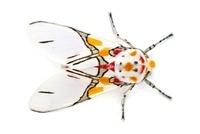 Scape Moth (Ctenuchidae), Barbilla National Park, Costa Rica