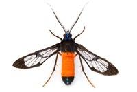 Scape Moth (Ctenuchidae) with aposematic coloration, Barbill