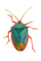 Stink Bug (Edessa sp) with aposematic coloration, Barbilla N