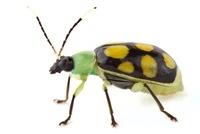Leaf Beetle (Chrysomelidae), Barbilla National Park, Costa R