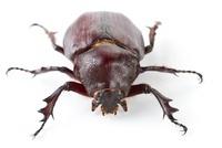 Rhinoceros Beetle (Dynastinae), La Selva Biological Research