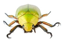 Scarab Beetle (Chrysina sp), Tapanti National Park, Cartago,