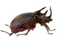 Rhinoceros Beetle (Dynastinae) male, Tapanti National Park,