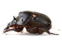 Dung Beetle (Scarabaeidae), Barbilla National Park, Costa Ri