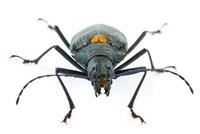 Longhorn Beetle (Cerambycidae), Barbilla National Park, Cost