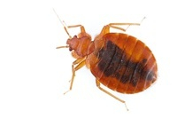 Bed Bug (Cimex lectularius) filled with blood, Estabrook Woo