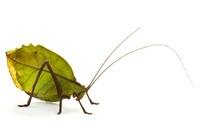 Katydid (Mimetica crenulata) leaf mimic, La Selva Biological