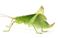 Katydid (Caloxiphus sp) newly discovered, yet unnamed specie
