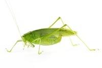 Katydid (Tettigoniidae) newly discovered, yet unnamed specie
