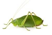 Hebard's Katydid (Lophaspis hebardi) leaf mimic, Tapanti Na