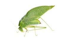 Katydid (Microcentrum sp) leaf mimic, La Selva Biological Re