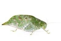 Maculated Leaf Katydid (Anapolisia maculosum) decaying leaf