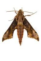 Hawk Moth (Sphingidae), Braulio Carrillo National Park, Cost