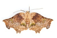 Moth, newly discovered, yet unnamed species, Braulio Carrill
