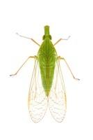 Dictyopharid Planthopper (Dictyopharidae), Barbilla National
