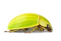 Scarab Beetle (Chrysina sp) with aposematic coloration, Tapa