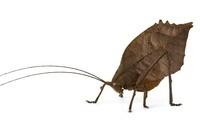 Katydid (Mimetica crenulata) leaf mimic, Barbilla National P