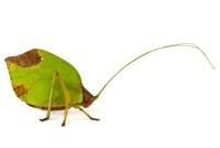 Katydid (Mimetica sp) decaying leaf mimic, Barbilla National