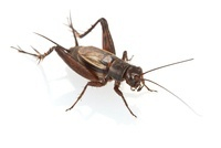 Allard's Ground Cricket (Allonemobius allardi), Estabrook W 01543041159| 写真素材・ストックフォト・画像・イラスト素材|アマナイメージズ
