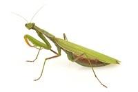 European Mantid (Mantis religiosa), Estabrook Woods, Concord 01543041162| 写真素材・ストックフォト・画像・イラスト素材|アマナイメージズ