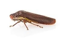 Speckled Sharpshooter (Paraulacizes irrorata), Woburn, Massa 01543041166| 写真素材・ストックフォト・画像・イラスト素材|アマナイメージズ
