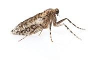 Winter Moth (Operophtera brumata) female, Woburn, Massachuse 01543041168| 写真素材・ストックフォト・画像・イラスト素材|アマナイメージズ