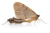 Winter Moth (Operophtera brumata) pair mating, Woburn, Massa 01543041169| 写真素材・ストックフォト・画像・イラスト素材|アマナイメージズ