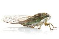 Dog-day Cicada (Tibicen canicularis), Woburn, Massachusetts
