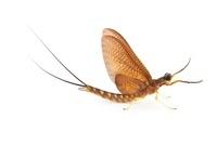 Mayfly subimago, La Selva Biological Research Station, Hered