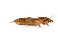 Northern Mole Cricket (Neocurtilla hexadactyla), La Selva Bi