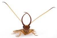Dobsonfly (Corydalidae) showing long mandibles, Barbilla Nat