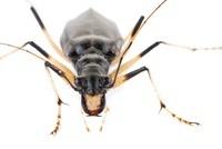 Shiny Sharp-lipped Tiger Beetle (Oxycheila polita), Barbilla