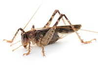 Marmorated Predaceous Cricket (Anabropsis marmorata), Brauli