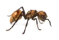 Velvet Ant (Mutillidae), Barbilla National Park, Costa Rica