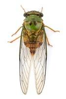 Cicada (Cicadidae), Barbilla National Park, Costa Rica